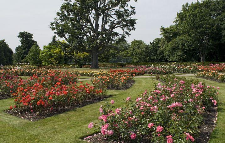 Bellísima rosaleda en Greenwich Park.
